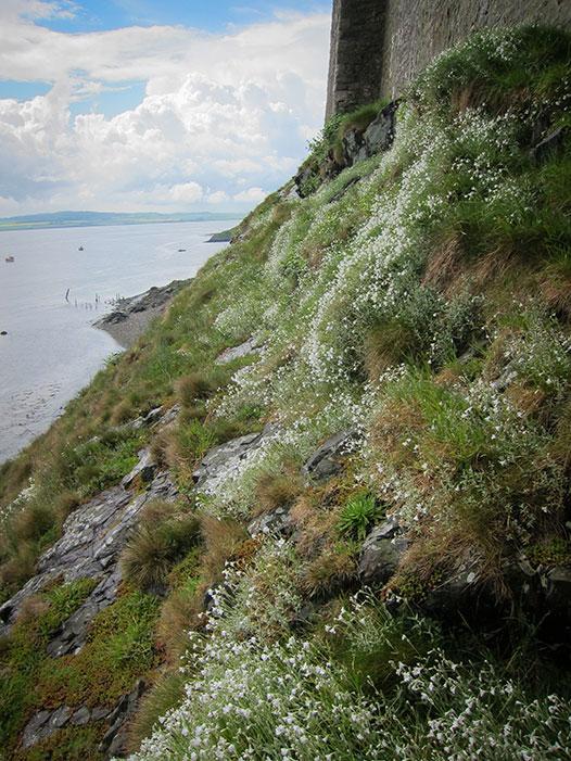 Lindasfarne-flowers