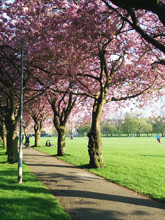 edinburgh-cherrytrees